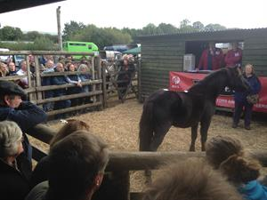 Successful Chagford Pony Sale
