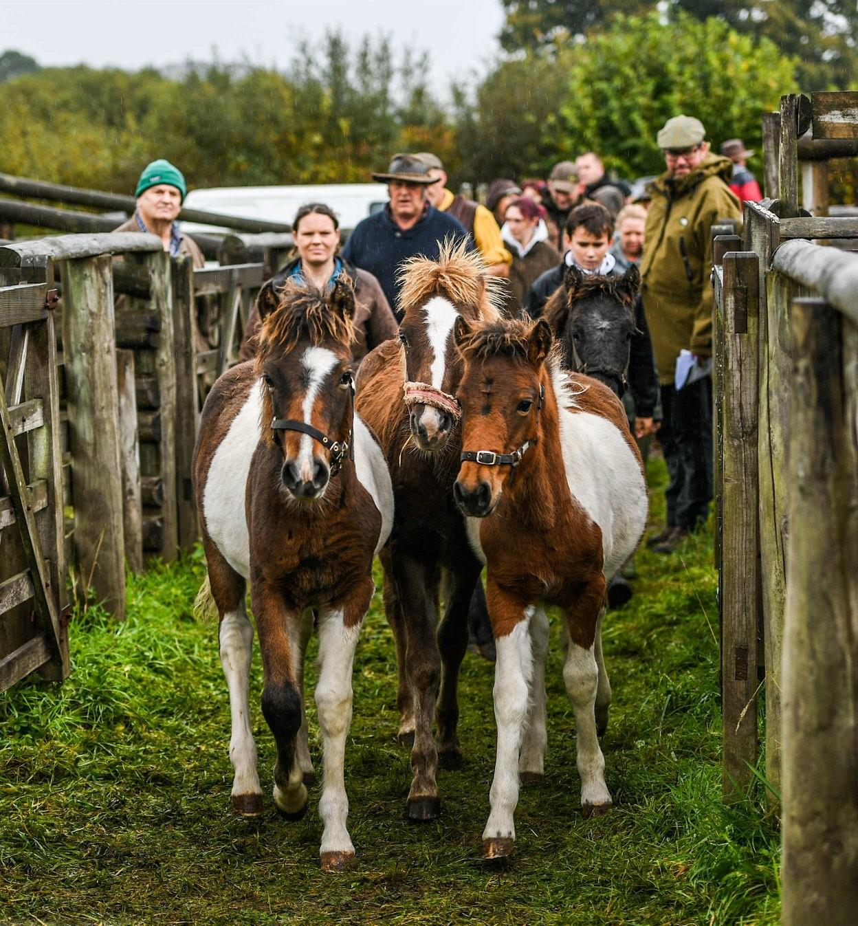Chagford Drift Pony Sale - Thursday 8th October 2020